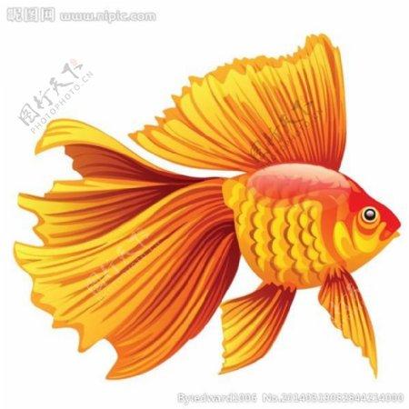斗鱼金鱼图片