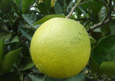 水果柳丁好看的水果可口绿色食品健康生物世界摄影图库图片