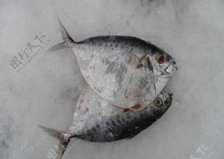 鲳鱼素材图片