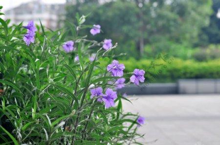 翠芦莉紫兰花