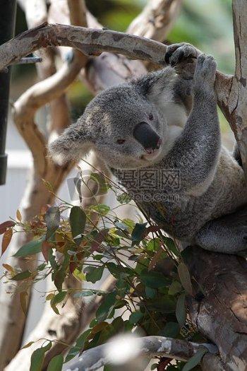 考拉特写毛皮动物野生动物野生动物学哺乳动物物种