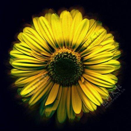 位图植物摄影写实花卉花朵菊花免费素材