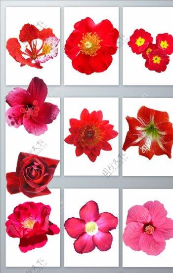 免抠各种红色花朵png元素