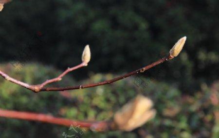 3枝木棉花
