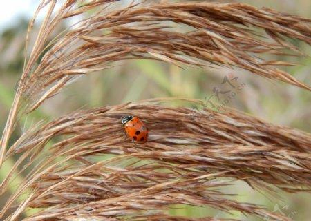 植物瓢虫七星瓢虫