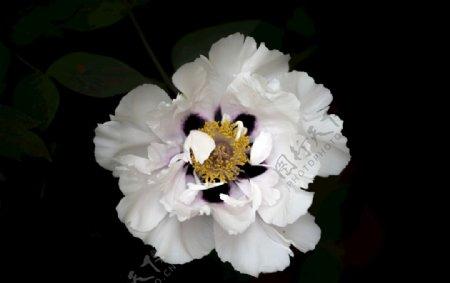纯白色牡丹花