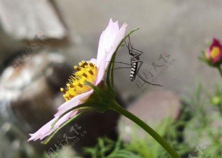 非洲菊花蚊子