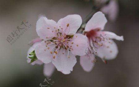 桃花桃树桃花林