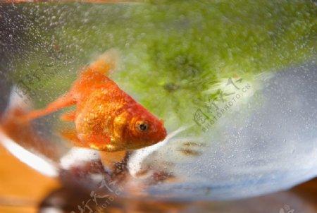 金鱼锦鲤水族观赏鱼