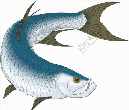 塔蓬鱼海洋鱼矢量手绘