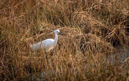 白鹭芦苇图片