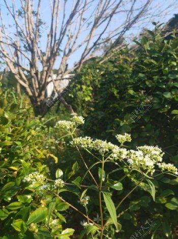 白色花朵绿色野花野草图片