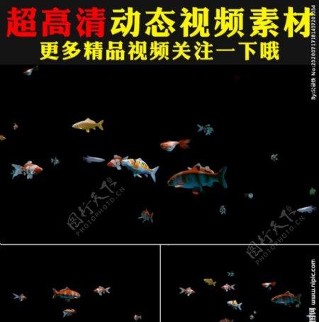 七彩鱼群金鱼鱼儿鱼类
