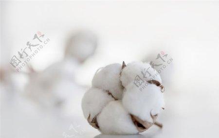 白色背景中的棉花干花图片
