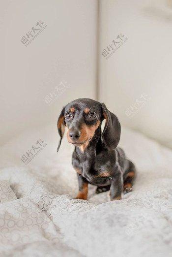 小狗腊肠图片
