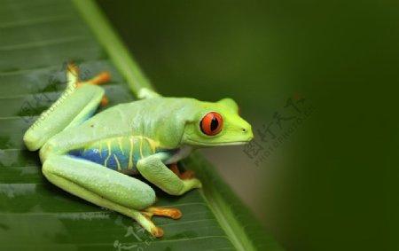 绿青蛙摄影图片