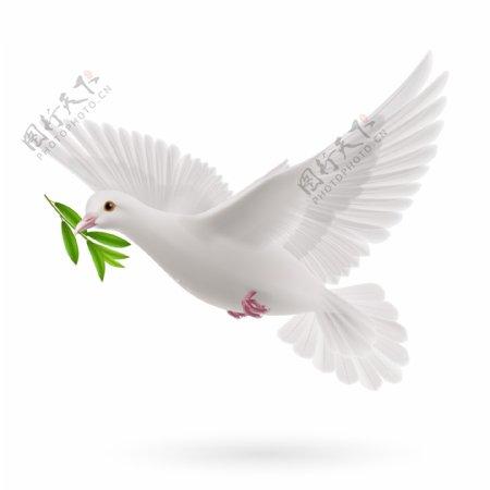 衔橄榄枝的鸽子图片