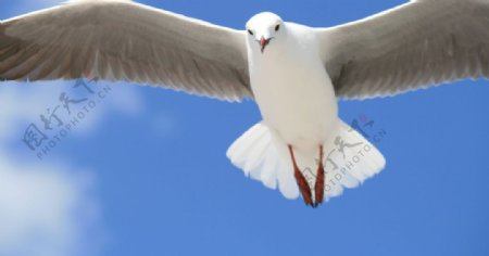 白色鸽子飞行蓝色天空图片