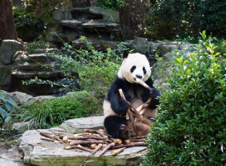 熊猫吃竹笋大图图片