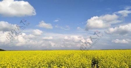 油菜花海草原风景图片