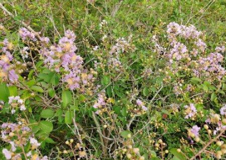 开花的紫薇树图片
