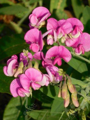 豌豆花图片