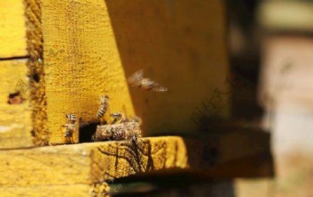 蜜蜂养蜂图片