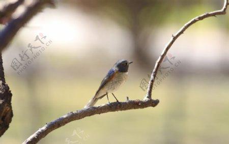 树上小鸟图片