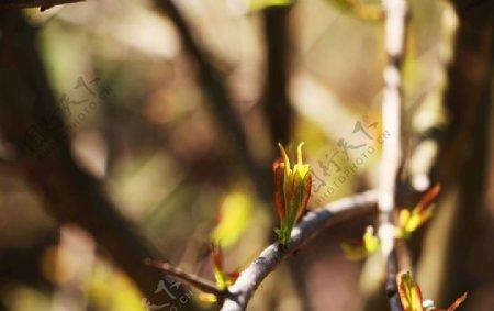 春天树芽图片