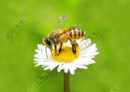 花朵上的蜜蜂图片