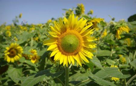 金黄的向日葵图片