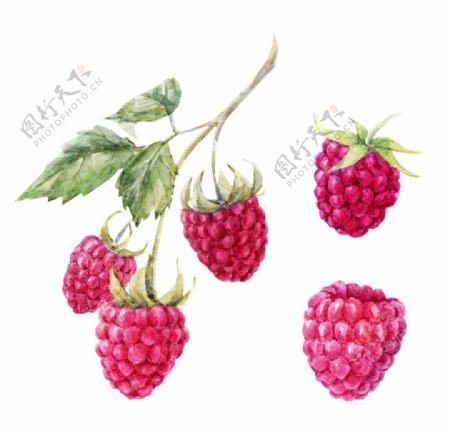 三月树莓图片