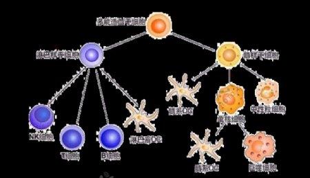 造血干细胞图片