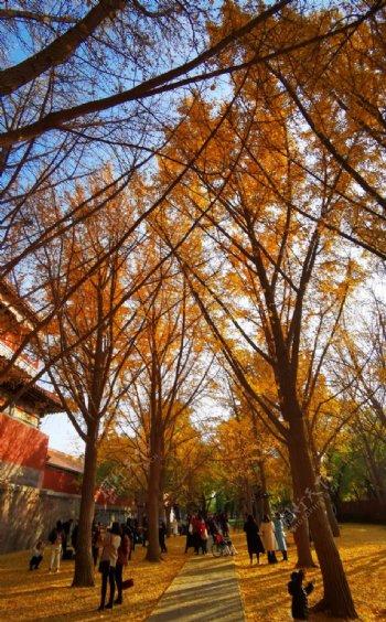 北京紫禁城故宫博物馆银杏图片