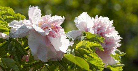 牡丹花摄影图片