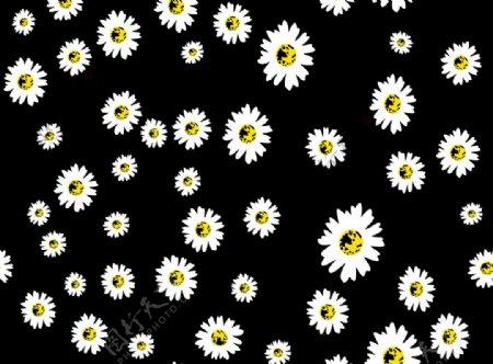 黑白小雏菊图片