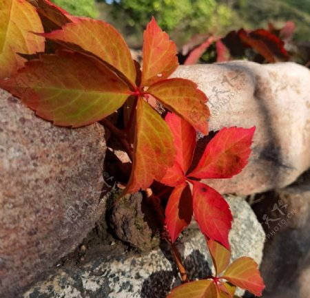 枫叶红叶叶子图片