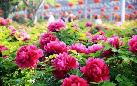 紫红色成片牡丹花植物素材摄影图图片