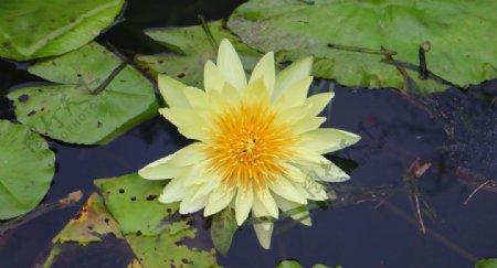 黄色莲花特写素材图片