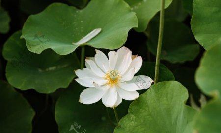 白色莲花高清大图图片