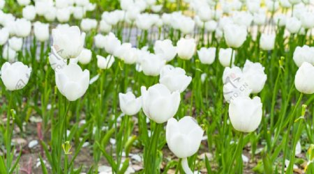 户外清新白色郁金香图片
