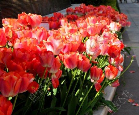路旁花坛里的郁金香图片