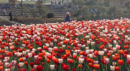 郁金香花圃拍摄素材图片