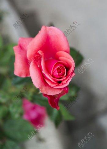 鲜花摄影素材正在开放的玫瑰图片