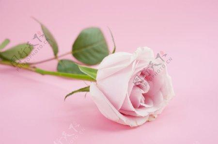 粉色玫瑰花特写图片