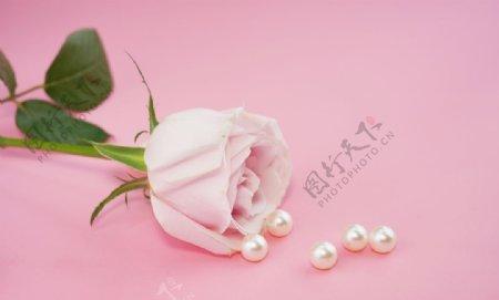 粉色底板粉色玫瑰摄影图图片