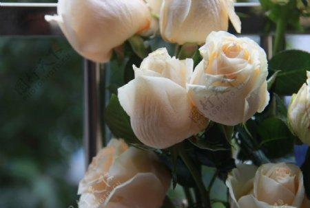 淡黄色玫瑰花摄影图片