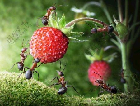 蚂蚁采摘草莓图片