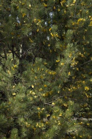 松树上的银杏叶图片