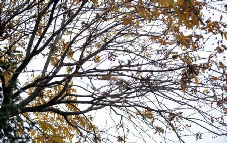 黄树叶图片